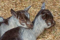 Twin Baby Goats. Portrait of twin baby goats cuddled in straw Royalty Free Stock Image