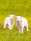 Twin baby lambs in flower meadow Royalty Free Stock Photography