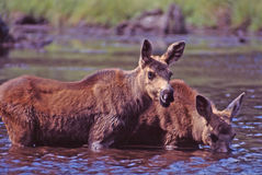Twin baby moose. Feed in a pond in central maine,usa royalty free stock images