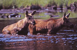 Twin baby moose,. These beautiful twin baby moose venture from shore to meet up with there mother stock image