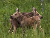 Twin baby moose standing in a field Stock Photo