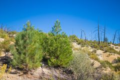 Twin Baby Pine Trees Stock Photography