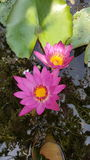 Twin Beautiful pink lotus in pond. Royalty Free Stock Images