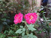 Twin beautiful red rose on garden stock images