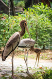 Twin beautiful Storks Stock Photography