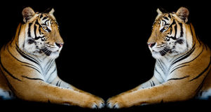 Twin beautiful tiger face to face isolated on black background Royalty Free Stock Photography