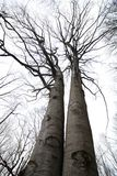 Twin beech trees Stock Images