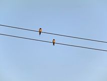 Twin bird. Two bird  hang a wire on the sky Stock Photo
