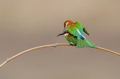 Twin birds on bamboo branch. Stock Image