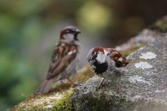 Twin birds at the Isle of Skye, Scotland in the summertime. stock images