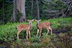 Free Twin Black Tailed Fawn Deer Stock Photo - 124446140