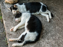 Twin black and white cats Stock Photo