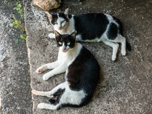 Twin black and white cats Royalty Free Stock Photos