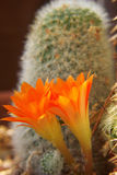 Twin Blossoms. Two orange cacti blossoms share the light at the base of a cactus plant stock image