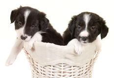 Twin border collie puppies Stock Photography