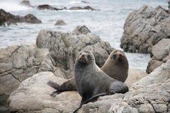 Twin Brown Fur Seals, Wainuiomata Coast, New Zealand royalty free stock image