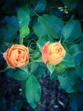 Twin buds Royalty Free Stock Photography
