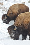 Twin buffalo. Buffalo feed, pushing snow aside with their massive heads to get to snow buried grasses Royalty Free Stock Image