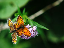 Twin butterflies Stock Images
