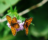 Twin butterflies Royalty Free Stock Images