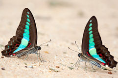 Twin Butterfly. Butterfly Macro at Pang si da - Thailand Stock Images