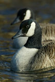Twin canada geese. Canada geese in line, morning lght Stock Images