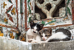 Twin cat, Thailand. Wild pet cat in Thailand Stock Photography
