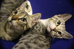 Twin cat stock image