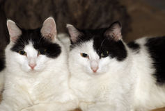 Twin cats. Pair of black white twin cats.They are twin brothers.So cute stock photos