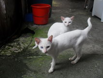 Twin cats Stock Images