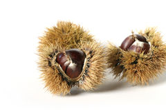 Twin chestnut. Castanea sativa - European chestnut fruit Royalty Free Stock Photo