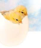 Twin chicks in big egg stock images