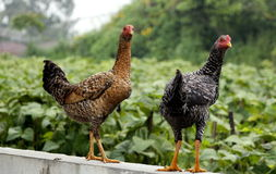 Twin chikens Royalty Free Stock Photos
