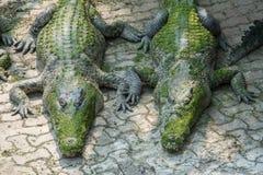 Twin Crocodiles Royalty Free Stock Image
