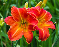 Twin daylilies. Two daylily flowers at peak color and vigor Stock Images