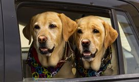 Twin dogs hippies in the car, Ibiza stock images