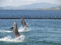 Twin dolphin show Stock Photos