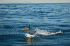 Twin Dolphins Jumping. Two common dolphins jumping in the ocean royalty free stock photo