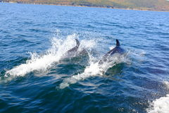 Twin Dolphins Jumping Royalty Free Stock Photos