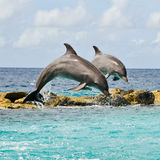 Twin dolphins Royalty Free Stock Images