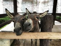 Twin donkey stand and smile beside in corral royalty free stock photography