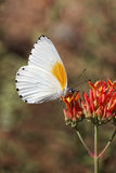 Twin Dotted Border Butterfly. On red flower Stock Photo