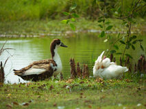 Twin duck Stock Photography