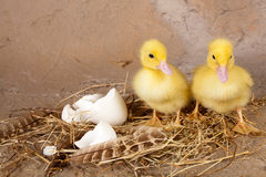 Twin ducklings. Twin little yellow ducklings standing on their nest Royalty Free Stock Image