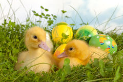 Twin ducklings with easter eggs Royalty Free Stock Photography