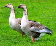 Ducks In A Open Green Field. Two Ducks Stand in an open field staring off into the distance in a frozen gaze Stock Photography