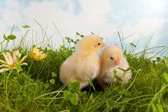 Twin easter chicks Stock Images