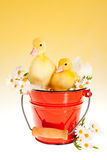 Twin easter ducklings in a bucket Stock Image