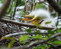 Twin Egret Chicks Stock Photos