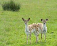 Twin Fallow Deer Stock Photo